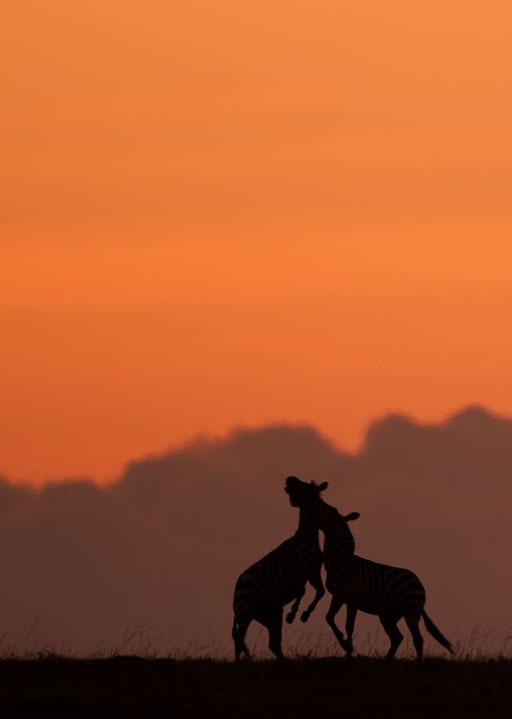 Bagarre de zèbres au lever du soleil (Masai Mara, Kenya)