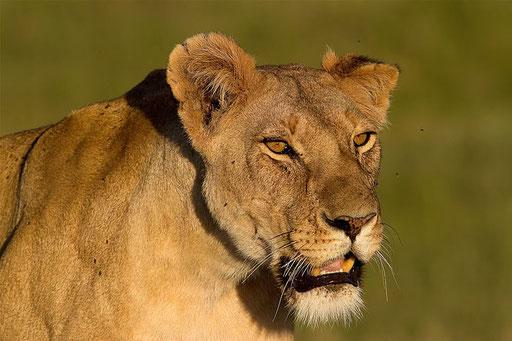 La charismatique Sienna... lâchement empoisonnée (Masai Mara, Kenya)