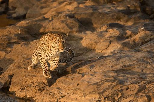 Magnifique femelle léopard au bord de la rivière Mara (Kenya)