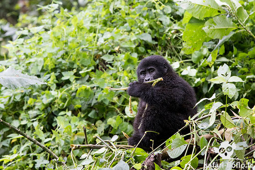 Gorille de montagne (Ouganda)