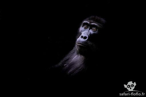 Gorille de Montagne (Ouganda) - Post traitement clair obscur