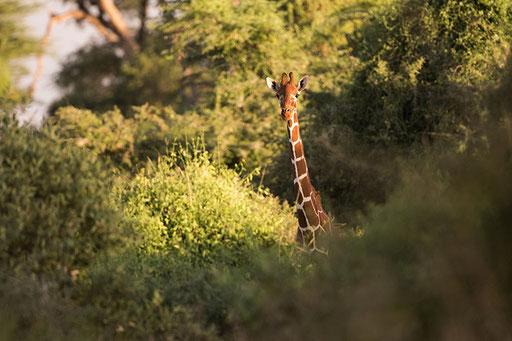 Girafe réticulée (Kenya)