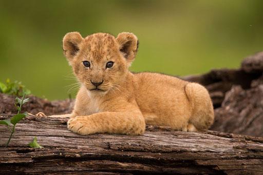 Jeune lionceau de 2 mois (Masai Mara - Kenya)
