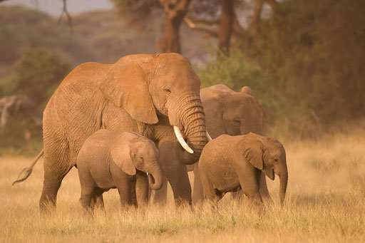 Elephants d'Amboseli (Kenya)