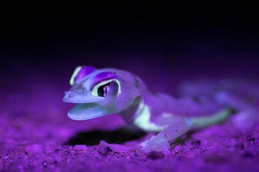 Gecko Palmé - Swakopmund (Namibie)