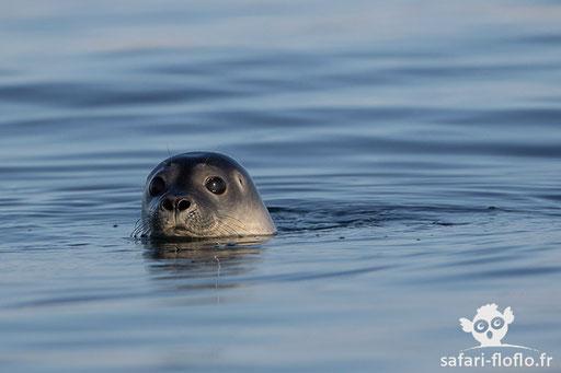 Phoque Veau Marin (Svalbard)