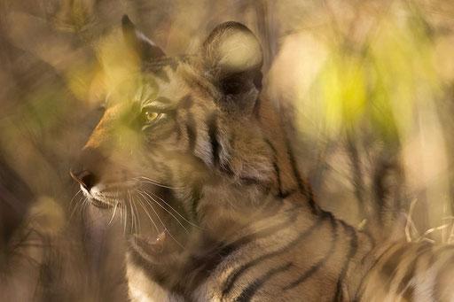 Jeune tigre de 10 mois bien caché dans la forêt de bambou