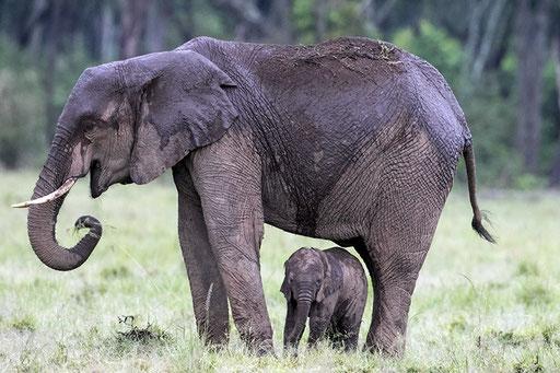 Elephanteau à l'abri de la pluie (Kenya)