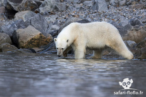 Ours Polaire (Svalbard)