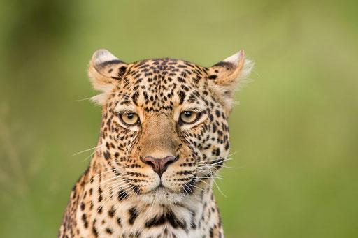 La célèbre et charismatique Romi (Masai Mara, Kenya)