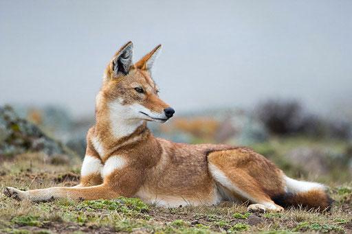 Loup d'Abyssinie (Ethiopie)