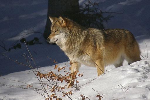 Loup d'Europe - Bayerishervald (Allemagne)