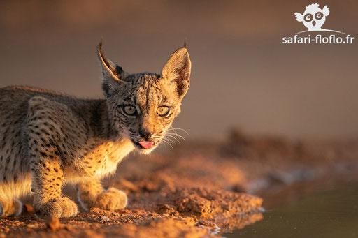 Jeune lynx Pardelle de 2 mois (Espagne)