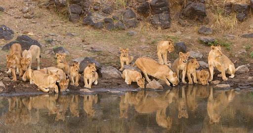 Lions buvant dans la Mara aux aurores