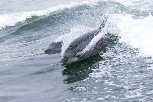 Bottlenose dolphins jouant derrière le bateau (Namibie)