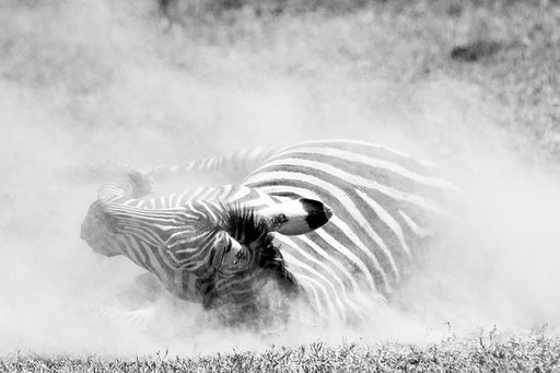 Bain de poussière... (Masai Mara, Kenya)
