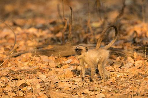 Jeune langur dans la lumière dorée du matin (Bandhavghar, Inde)