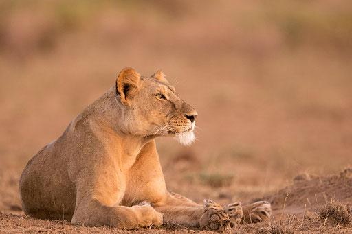 Lionne (Kenya)