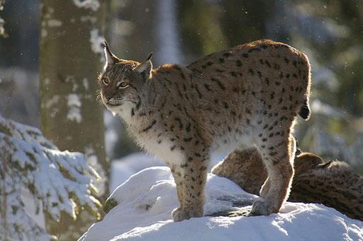 Lynx d'Europe - Bayerishervald (Allemagne)