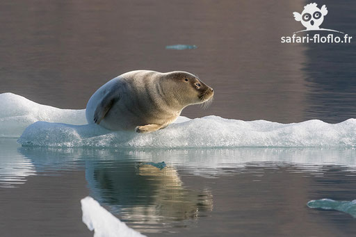 Phoque commun (Svalbard)