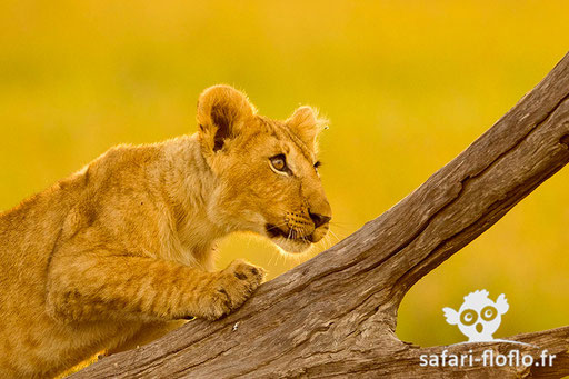 Lionceau (Kenya)