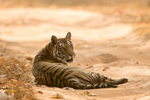 Tigresse de 4 ans (Bandhavghar, Inde)