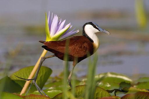 Jacana à poitrine dorée (Lac Baringo, Kenya)