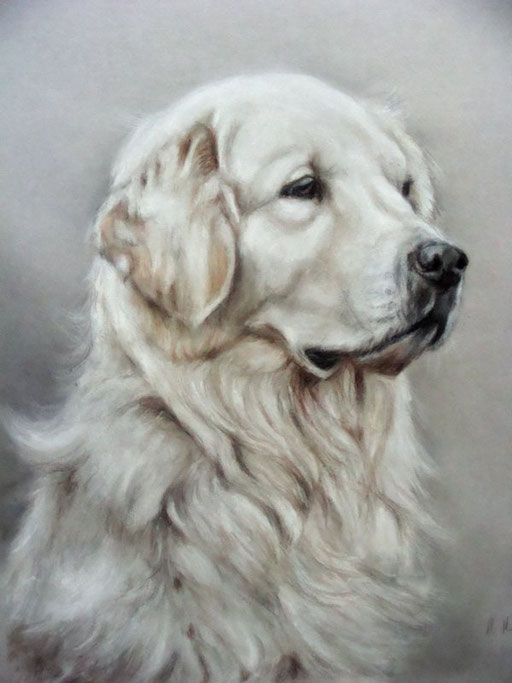 Golden Retriever, Hundeportrait