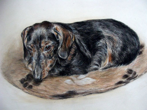 Hundeportrait, alter Rauhaardackel gezeichnet