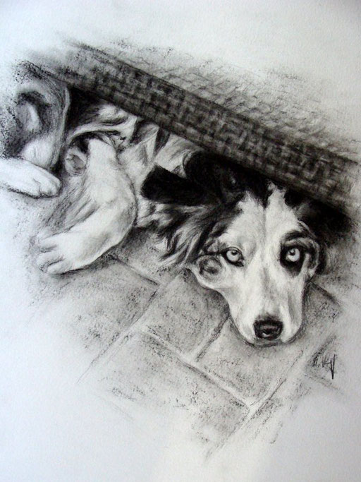 Border Collie, Hundbild  mit Kohle gezeichnet