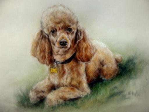 Hundeportrait, Pudeldame mit Pastellkreide gezeichnet.