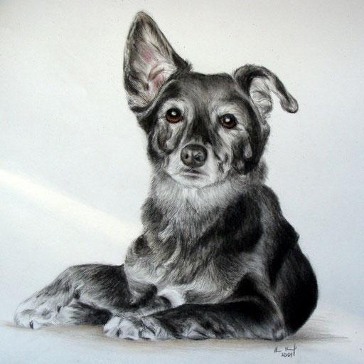 Hundeportrait Buntstift