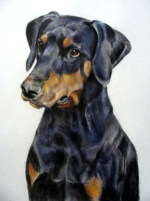 Dobermannn, Hundeportrait