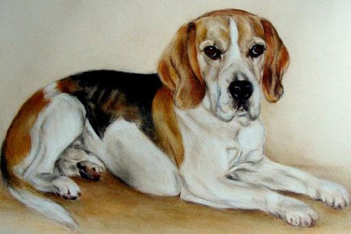 Beagle mit Pastellkreide gezeichnt