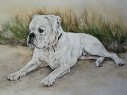 Bulldogge mit Patellkreide gezeichnet.