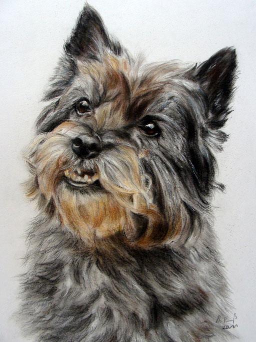 Hundeportrait, Cairn Terrier gezeichnet mit Pastellkreide und Buntstift