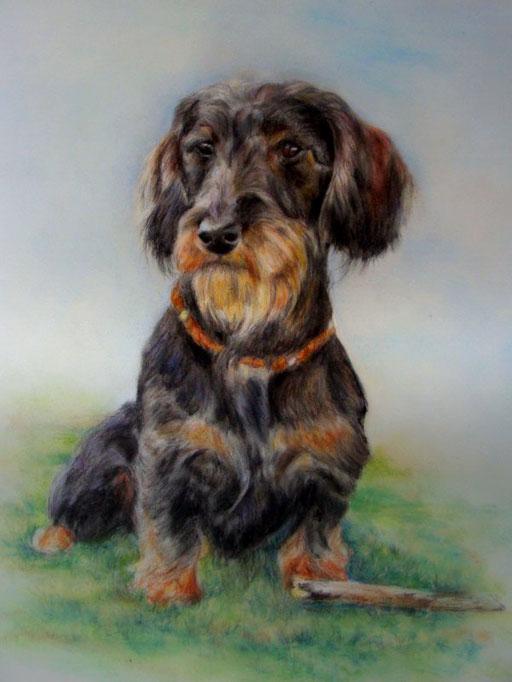 Hundeportrait Rauhaardackel, Pastellkreide