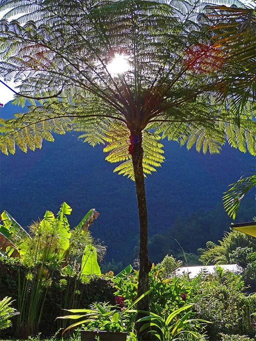 Fanjan (Fougère arborescente à La Réunion)