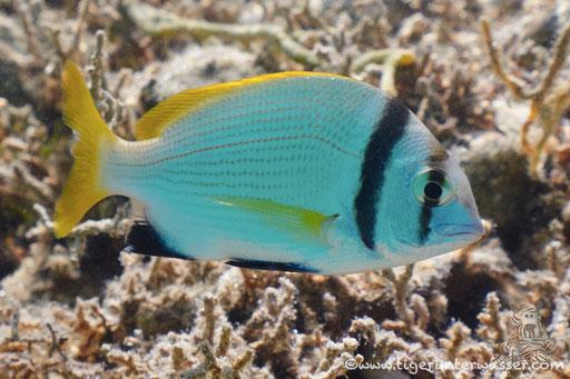 Doppelband Meerbrasse / twobar seabream / Acanthopagrus bifasciatus / Marriott Beach - Hurghada - Red Sea / Aquarius Diving Club
