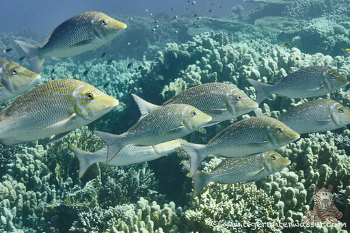 Blauschuppen Strassenkehrer / Spangled emperor / Lethrinus nebulosus / Shaab Sabina - Hurghada - Red Sea / Aquarius Diving Club