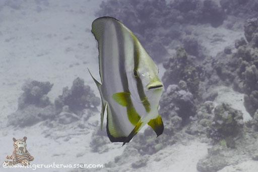Rundkopf Fledermausfisch / Orbicular batfish / Platax orbicularis / Abu Ramada Süd - Hurghada - Red Sea / Aquarius Diving Club