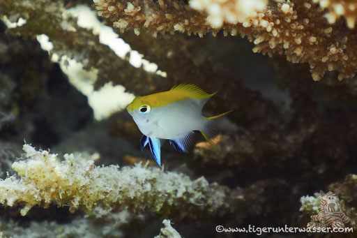 Schwarzer Riffbarsch Juv. / Neoglyphidodon Melas Juv.  / Turtle Bay - Hurghada - Red Sea / Aquarius Diving Club