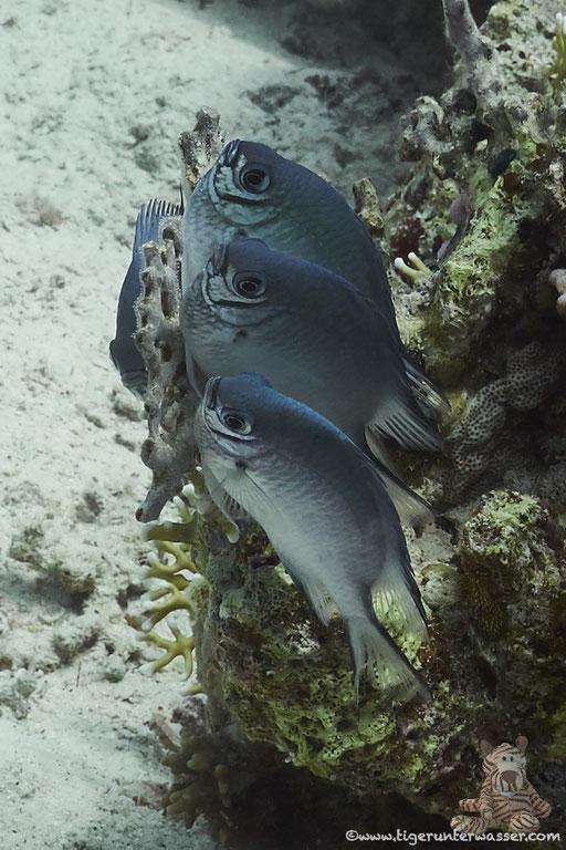 Weißbauch Demoiselle / Pale Damselfish / Amblyglyphidodon indicus / Godda Abu Ramada East - Hurghada - Red Sea / Aquarius Diving Club