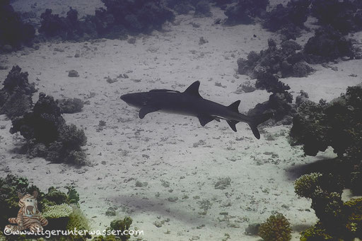 Weißspitzen Riffhai / Whitetip Reef Shark / Triaenodon obesus / Ben El Gebal - Hurghada - Red Sea / Aquarius Diving Club