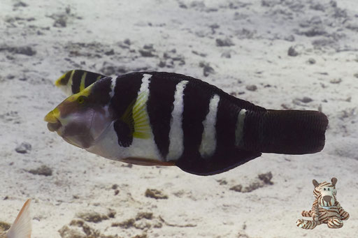 Rotmeer Bannerlippfisch / Hemigymnus sexfasciatus / Erg Talata - Hurghada - Red Sea / Aquarius Diving Club