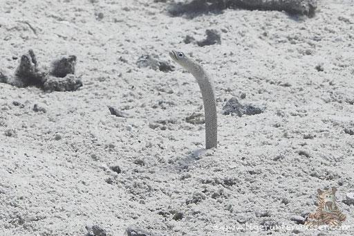Rotmeer Röhrenaal ( Sandaalen :) / Garden Eel / Gorgasia sillneri / Abu Ramada Süd - Hurghada - Red Sea / Aquarius Diving Club