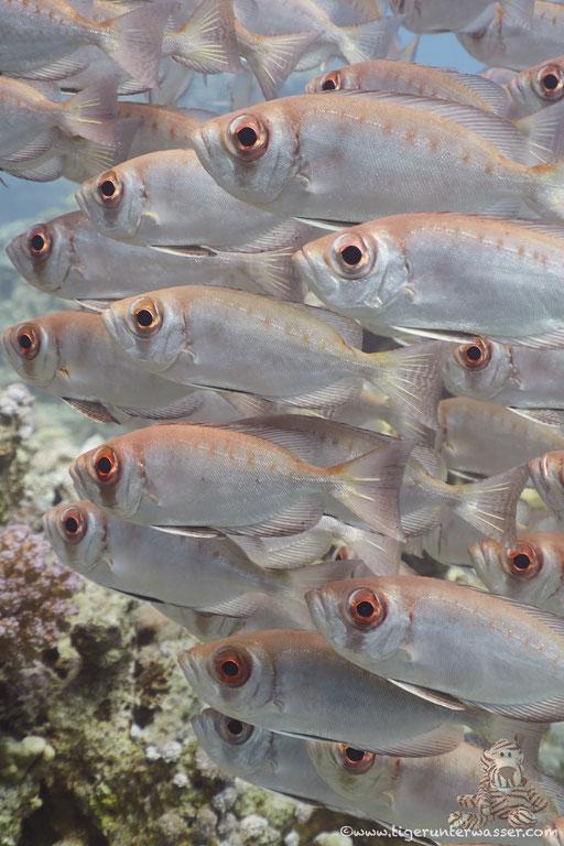 Riff Grossaugenbarsch - Moontail Bullseye - Priacanthus hamrur / Godda Abu Ramada East - Hurghada - Red Sea / Aquarius Diving Club