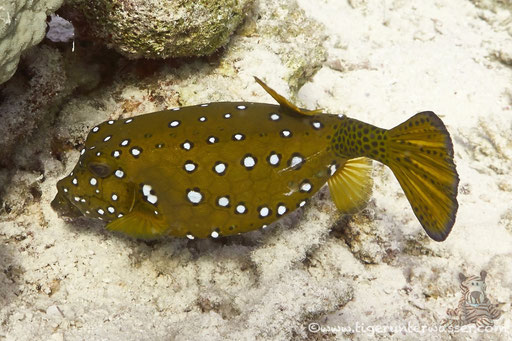 Gelbbrauner Kofferfisch ♀ / yellow boxfish ♀ / Ostracion cubicus ♀ / Hurghada - Red Sea / Aquarius Diving Club