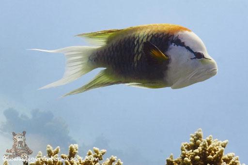 Stülpmaul Lippfisch / sling-jaw wrasse / Epibulus insidiator / - Hurghada - Red Sea / Aquarius Diving Club