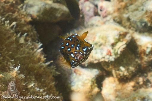 Gelbbrauner Kofferfisch / yellow boxfish / Ostracion cubicus / Marriott Beach - Hurghada - Red Sea / Aquarius Diving Club